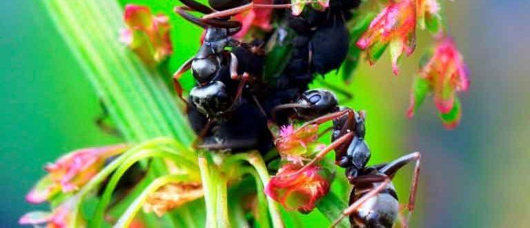 Рыжий-муравей