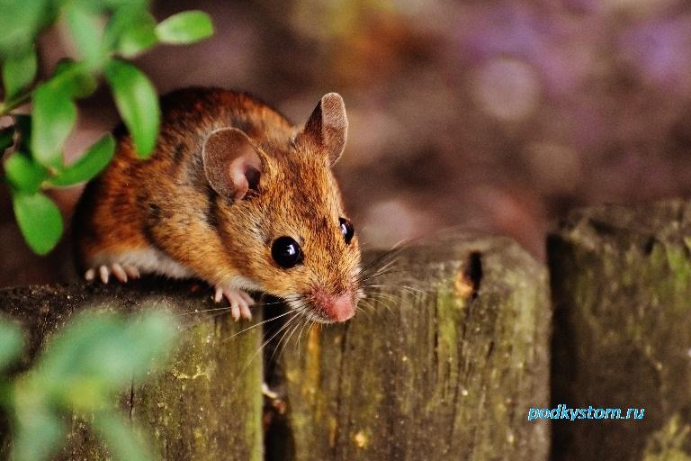 Мыши полёвки