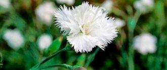 Белая-гвоздика