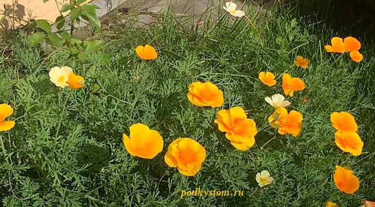 Эшшольция-фото-цветов