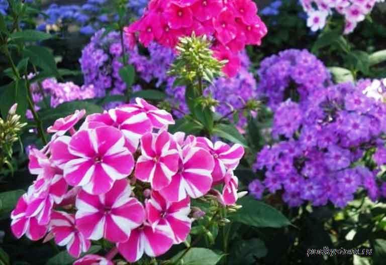 Флоксы-многолетние-растения