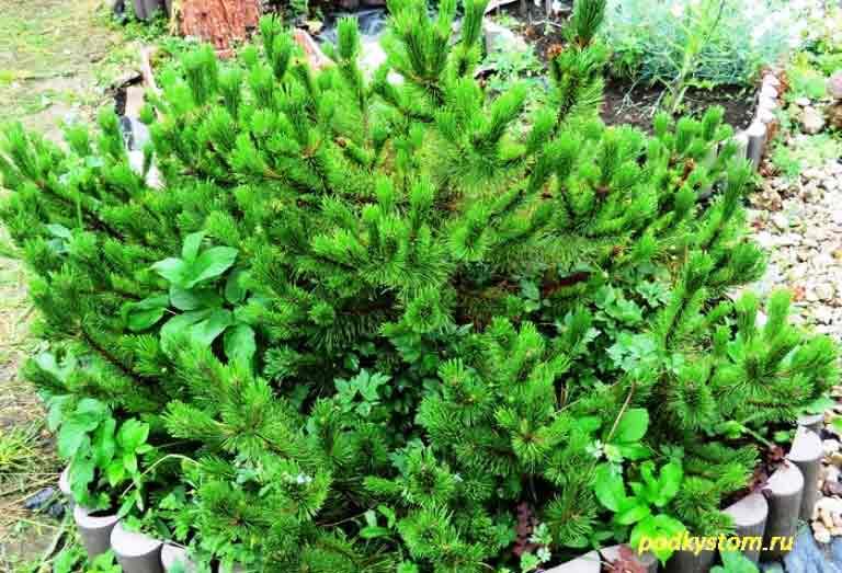 Хвойные-растения-на-даче