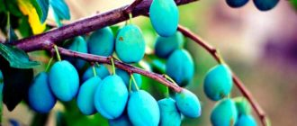 Плоды-сливы