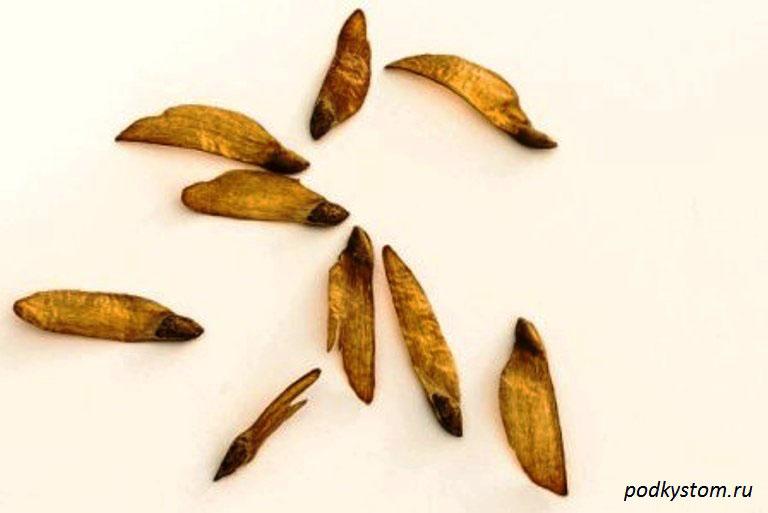 Семена-хвойных-растений