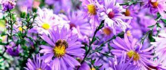 Цветок-астры