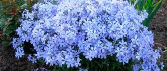 Цветущие-растения