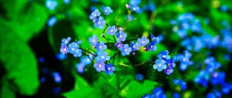 Цветы-незабудки