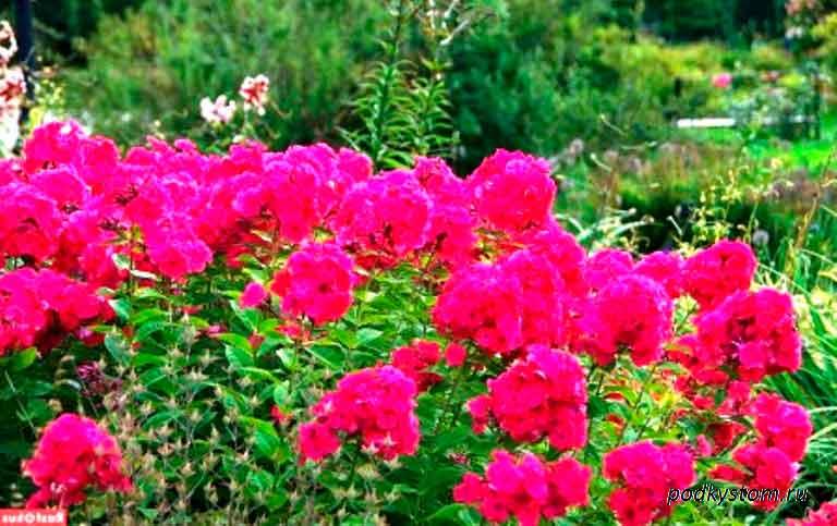 Цветы-в-летнем-саду