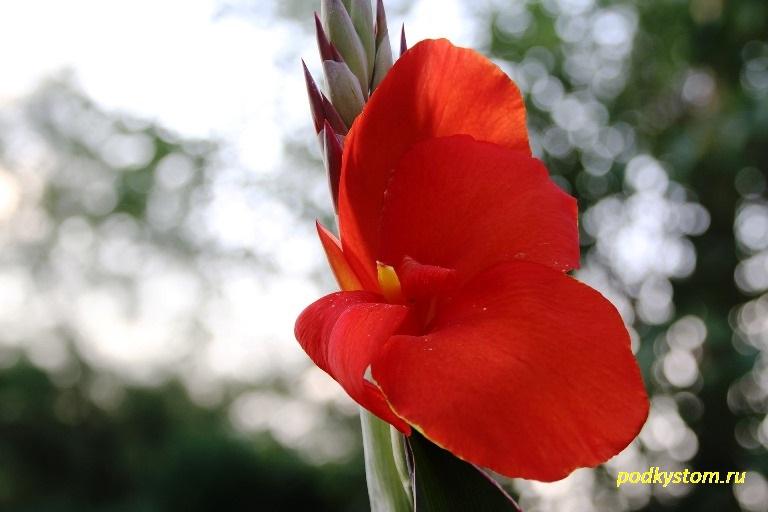 Цветок канна