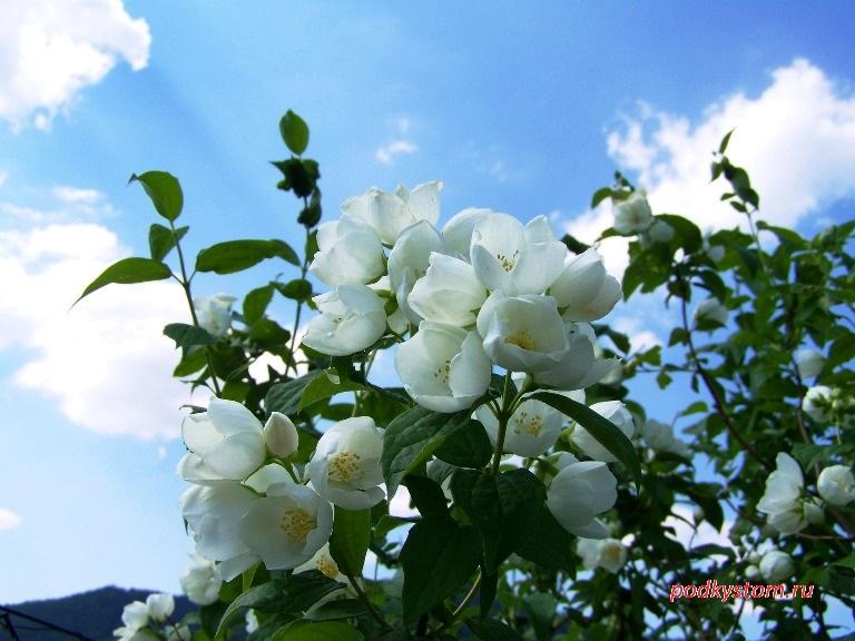 Жасмин цветущий кустарник