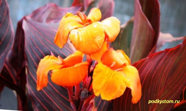 Растение канна