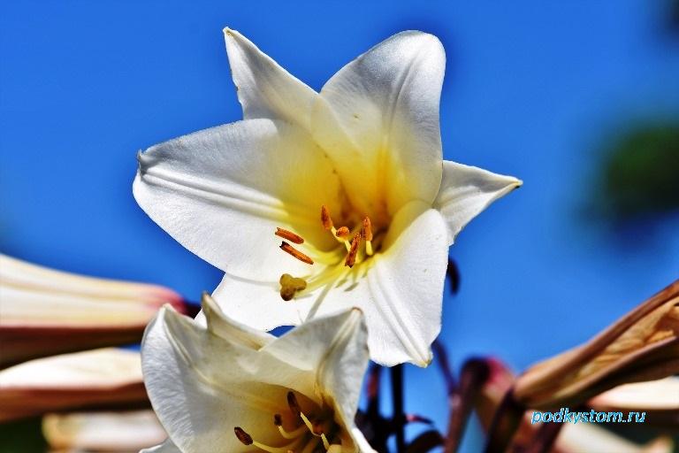 Лилия орлеанская