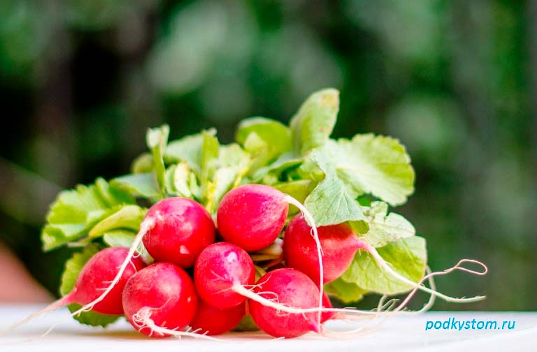 Редис-корнеплод
