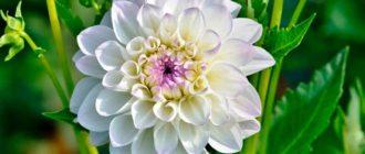 Цветок-георгин