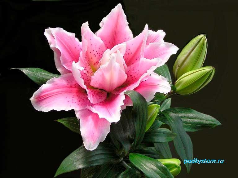 Цветок-лилии