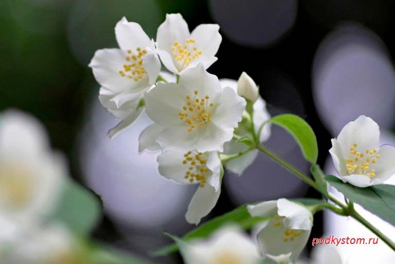 Цветок-жасмина