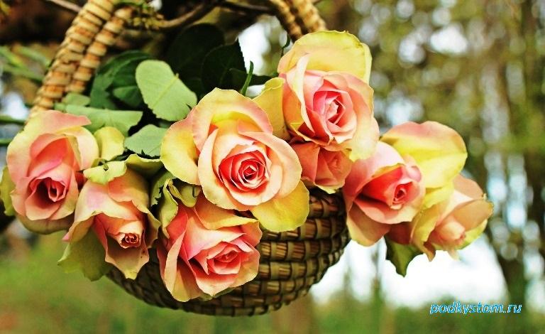Роза садовая многолетняя