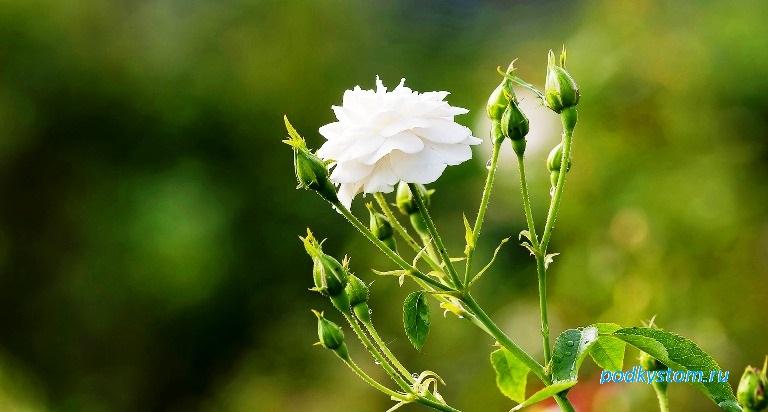 Белая роза с бутонами