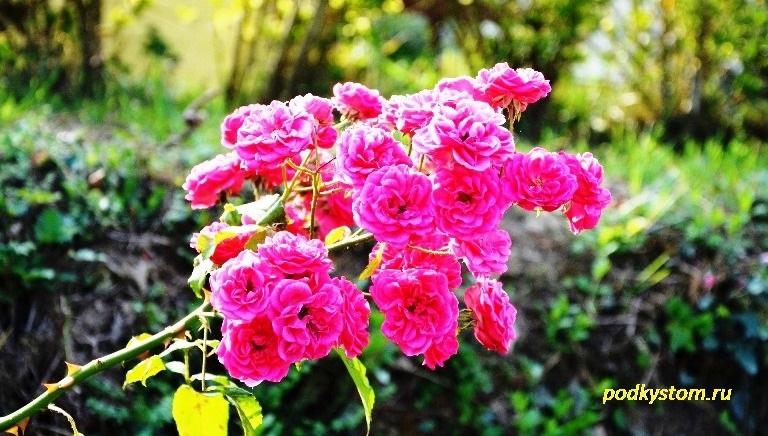 Розовая раза сорт Балерина