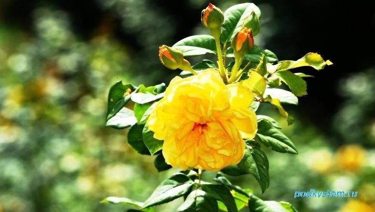 Жёлтая роза бутоны листья