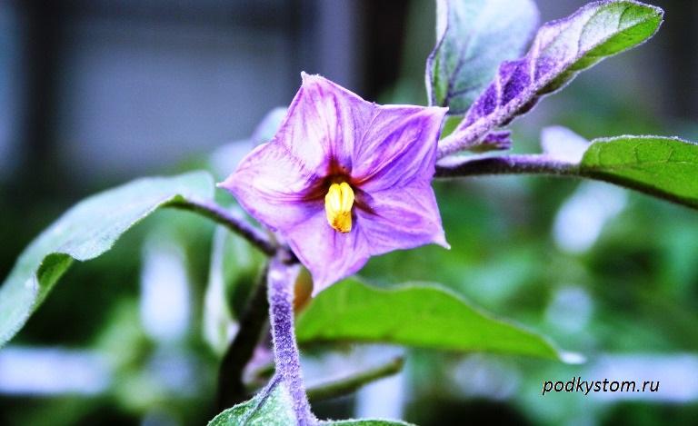 Баклажан цветок с завязью