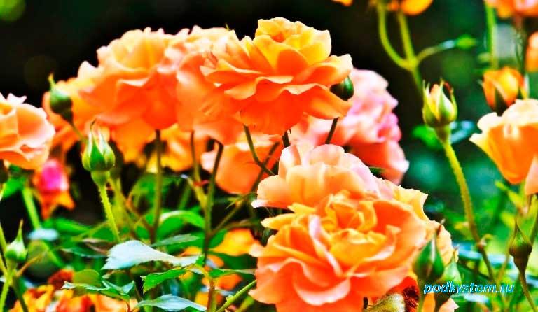 Чайная-роза