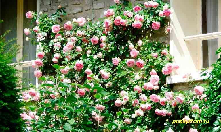 Плетистая-роза
