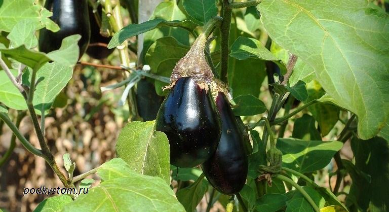 Плод баклажана и его полезные свойства