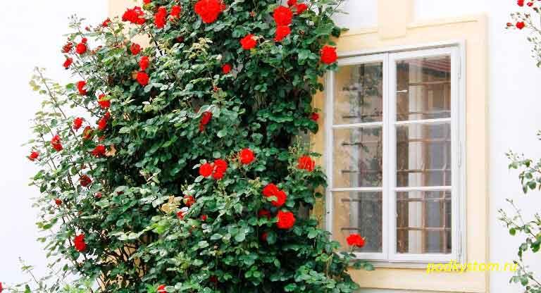 Разновидность-розы
