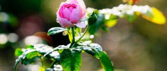Розовая-роза