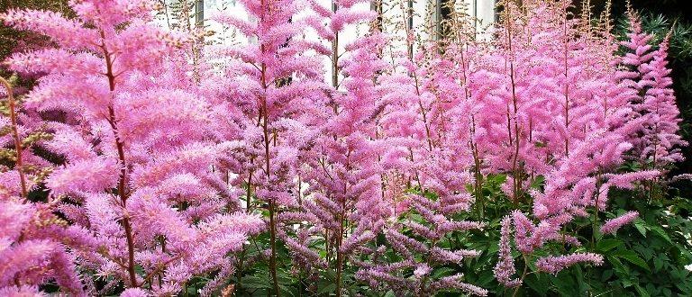 Период цветения астильбы