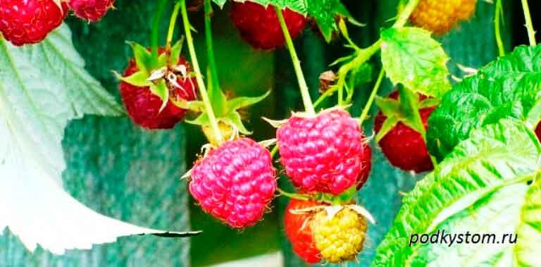 Малина-гроздь
