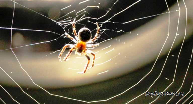 Малинный-паук