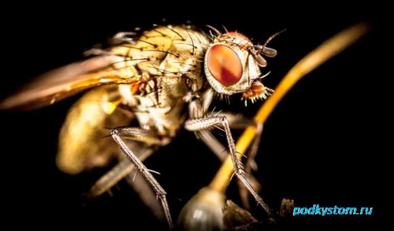 Малиновая-муха
