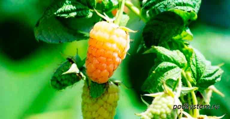 Жёлтая-малина