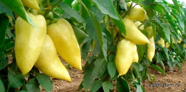 Болгарский-перец-жёлтый
