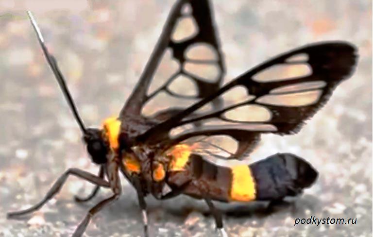 бабочка-стеклянница