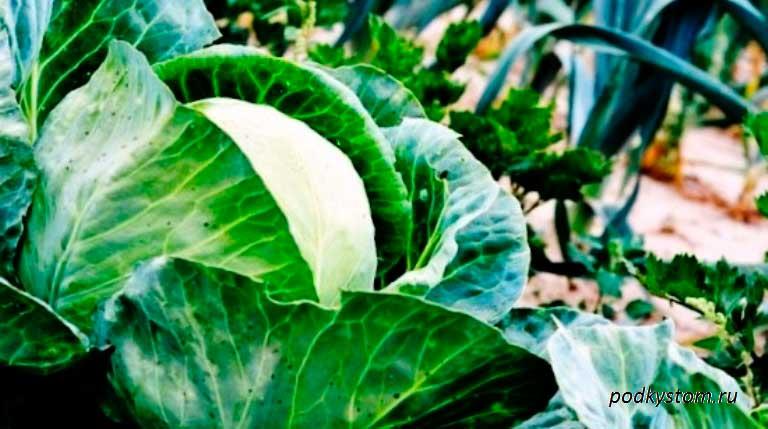 Кочан-капусты