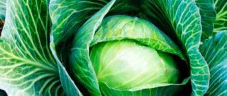 Уборка-урожая-капусты