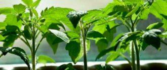 Крепкая-рассада-томатов