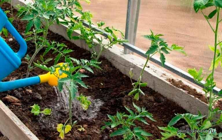 Полив-рассады-томатов