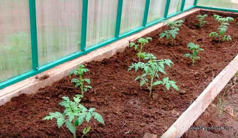 Рассада-помидоров-в-закрытом-грунте