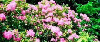 Цветущий-кустарник