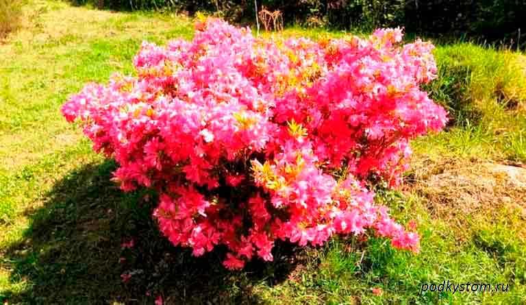 Цветы-куст