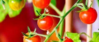 Выращиваем-томаты-в-закрытом-грунте