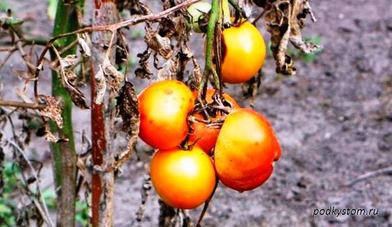 Фузариозное-увядание-томатов