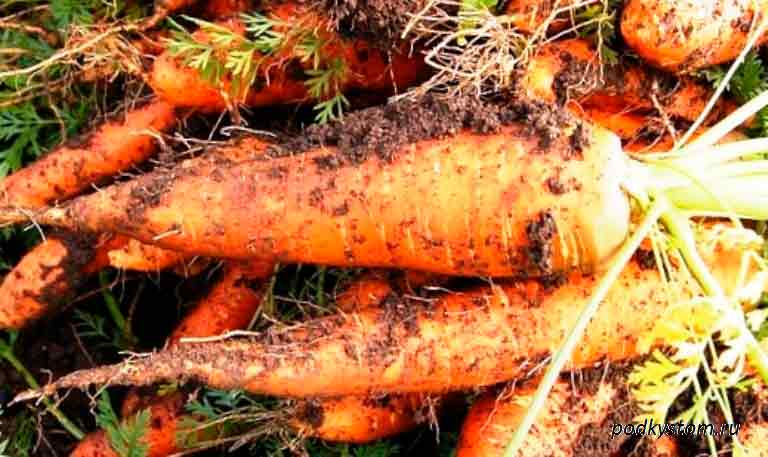Крупная-морковка