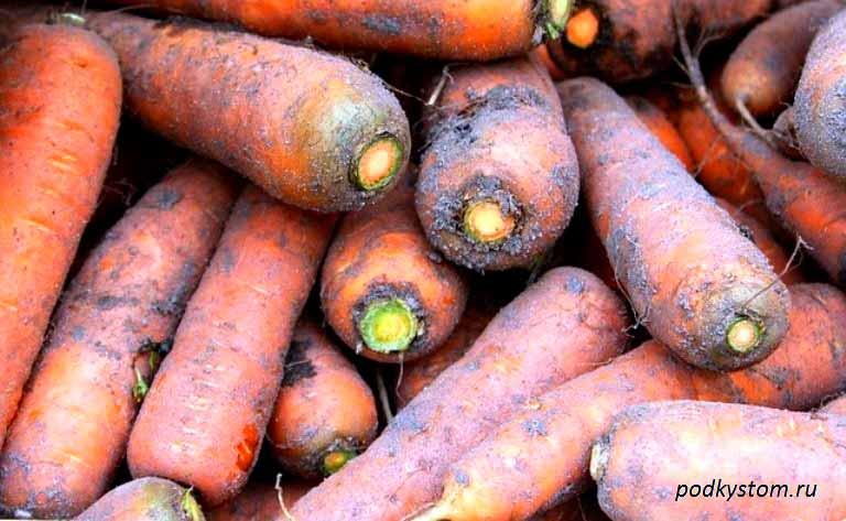 Морковь-готова-к-хранению