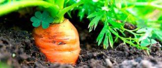 Пора-выкапывать-морковку