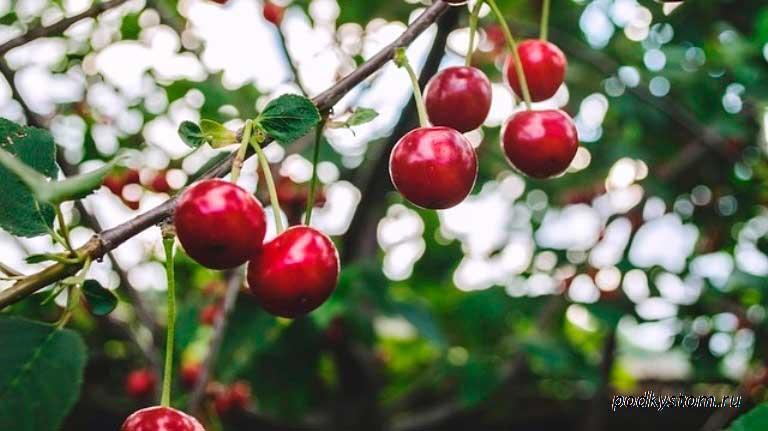 Плоды-вишни